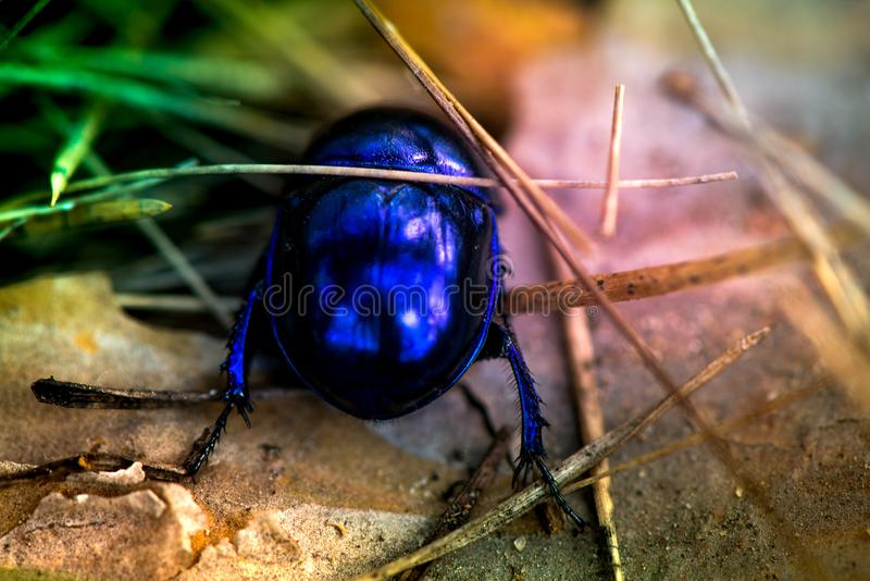 Macro shot of a blue bug royalty free stock photos