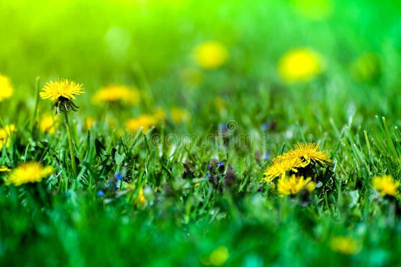 Macro shot of brightly yellow dandelion flowers stock photo
