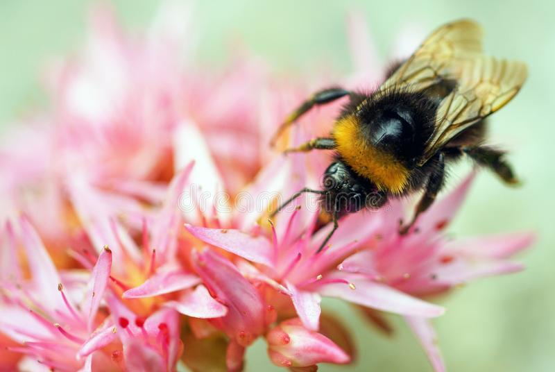 Macro shot of a bumblebee sitting on a pink plant outdoors royalty free stock photography