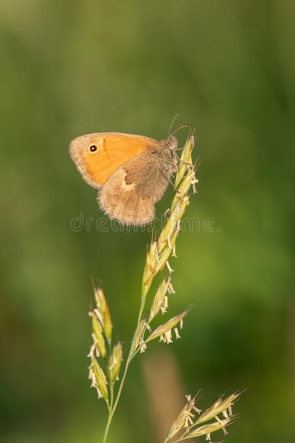 Macro shot of butterfly Small heath Coenonympha pamphilus on the grass. royalty free stock photography