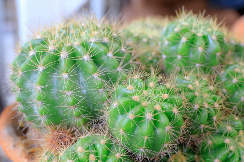 Macro shot of cactus. Closeup or Macro shot of cactus royalty free stock photos