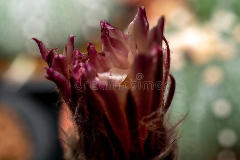 Macro shot of cactus flower. Close up shot of cactus flower royalty free stock image