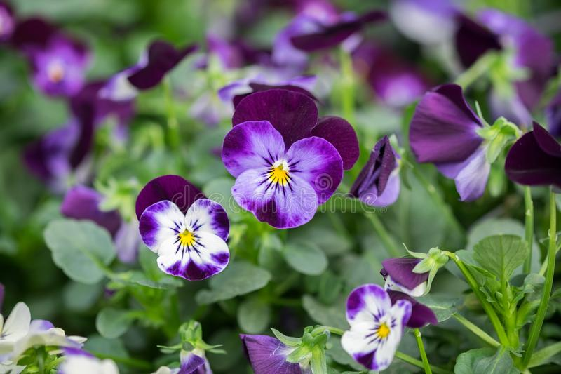 A macro shot of the colorful and vibrant pansy flowers stock photo