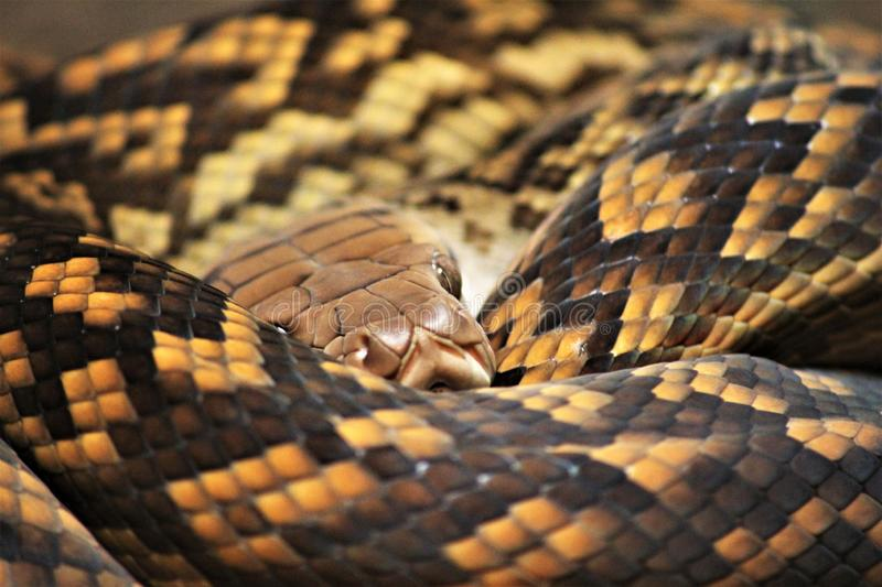 Macro shot of curled up yellow and black snake. Snake coiled up resting its head on its body, close up shot. Black and yellow patterned scales, beady yellow eyes stock photo
