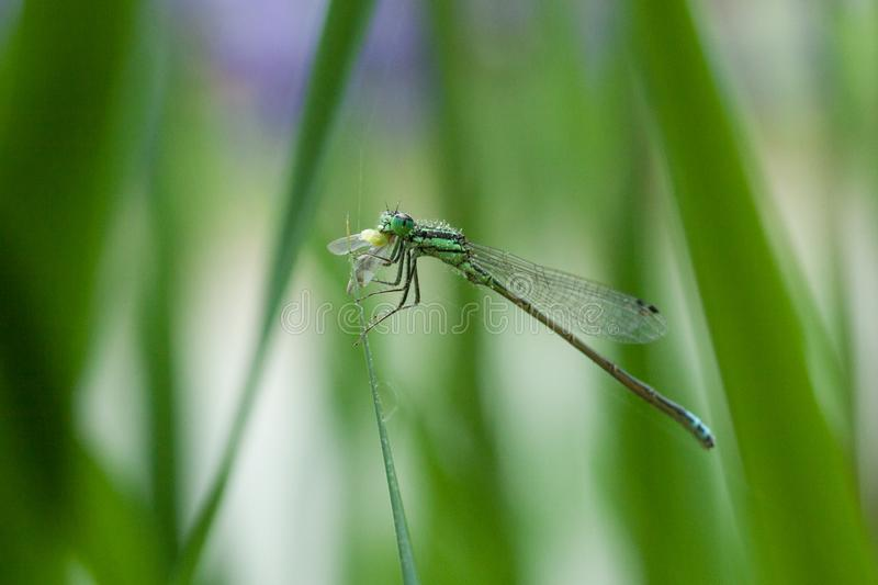 Macro shot of Damsel Fly with Lunch. Macro image of beautiful little damsel fly having lunch on a green leaf with flowers in background stock photography