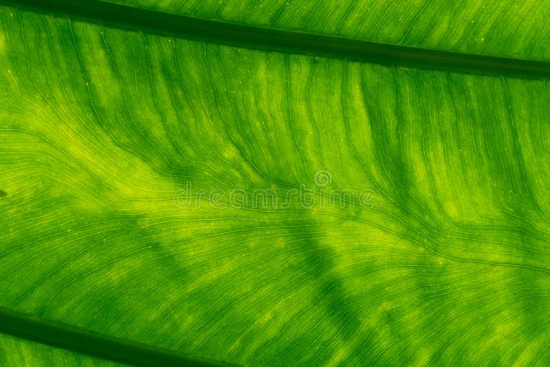 Macro shot detail of green leaf texture background. Pattern line of fresh green leaf. Abstract green texture. Background stock photo