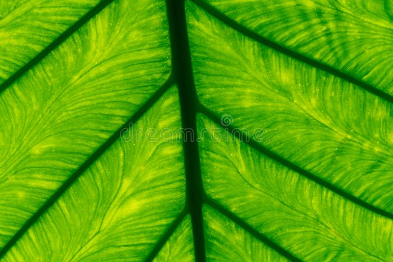 Macro shot detail of green leaf texture background. Pattern line of fresh green leaf. Abstract green texture. Background royalty free stock images