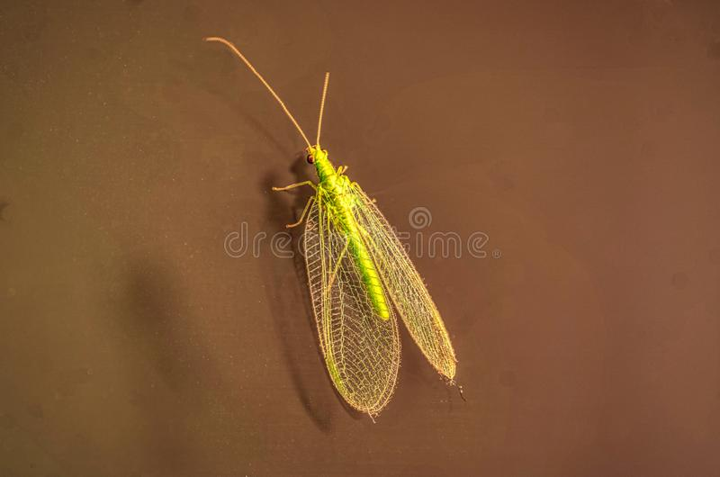 Macro shot of a detailed green lacewing chrysopidae royalty free stock photos