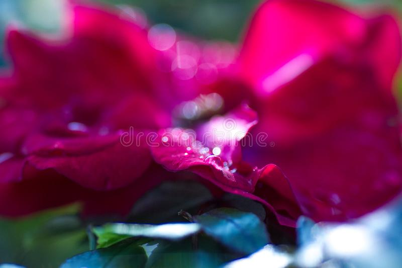 Macro shot of dew drops on red rose petals stock photography