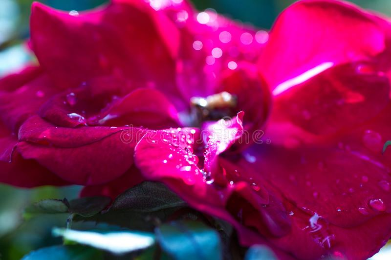 Macro shot of dew drops on red rose petals royalty free stock photos