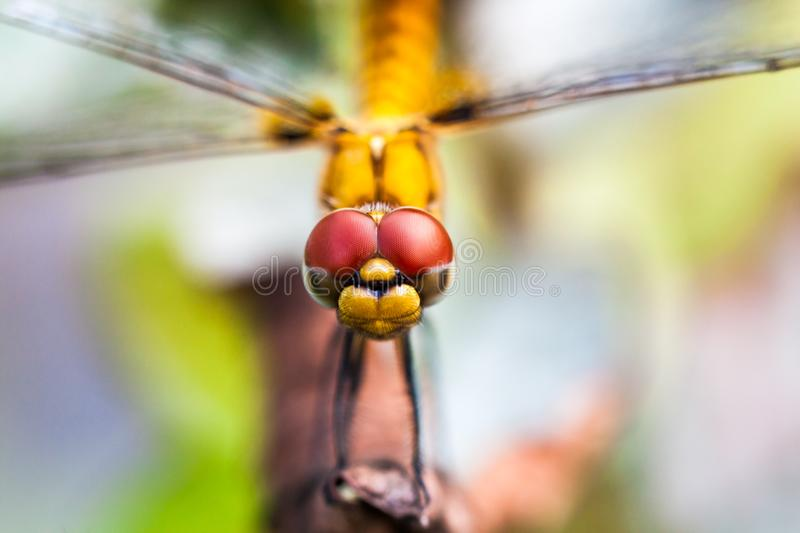 Macro shot of Dragonfly head. Closeup of the head of Dragonfly facing towards camera found in Kerala, India stock photos