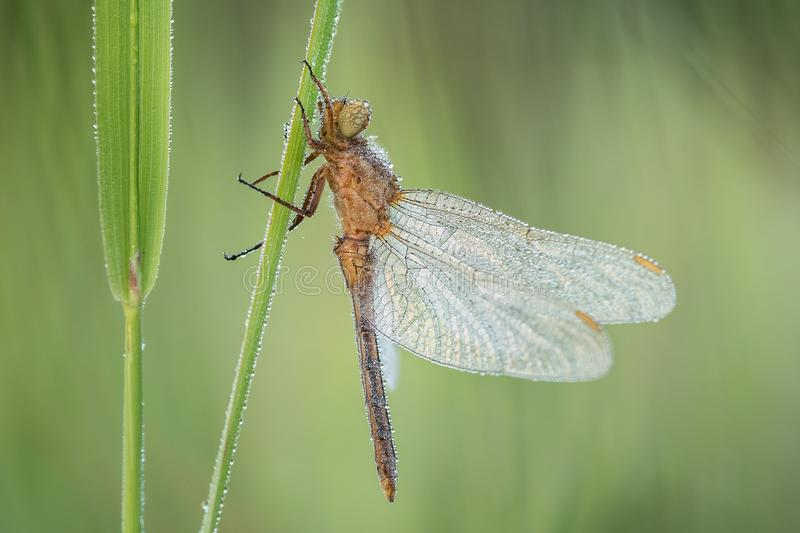 Macro shot of dragonfly Keeled skimmer Orthetrum coerulescens on the grass. royalty free stock images