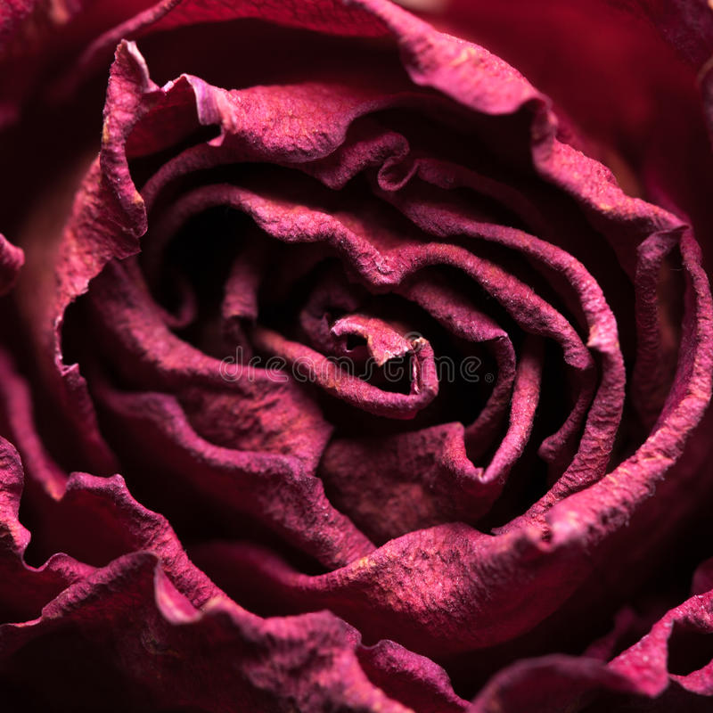 Macro shot of dried rose. With petals stock image