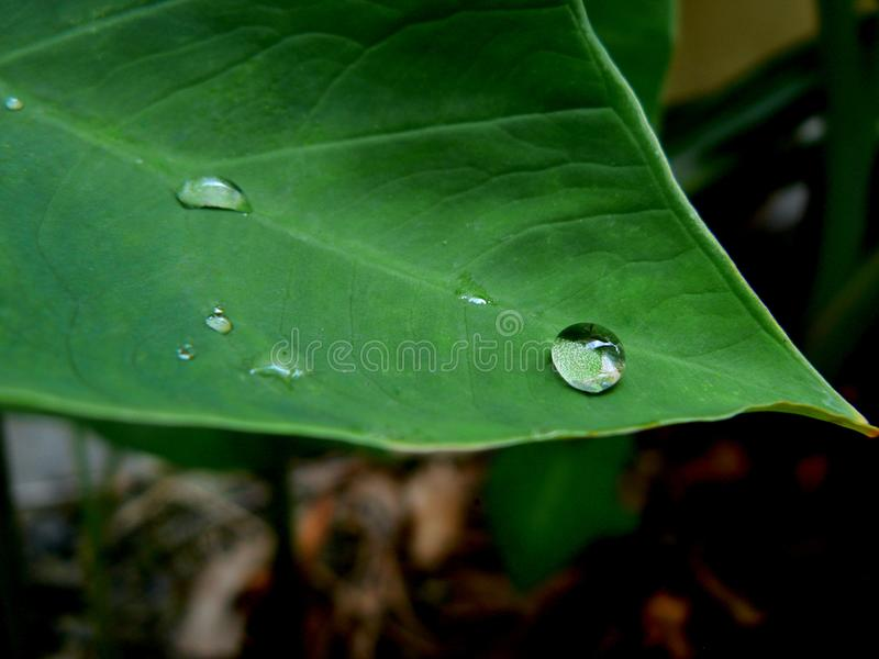Water drops on leaf. Macro shot of droplets of water trickling on leaves royalty free stock photos