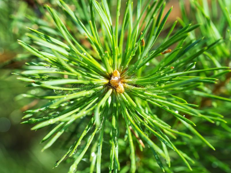 Macro shot of fir cone germ with raindrops in sunlight royalty free stock photography