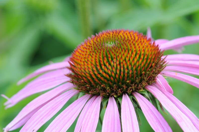 Download Macro Shot Of The Flower (echinacea) Stock Image - Image: 26234093