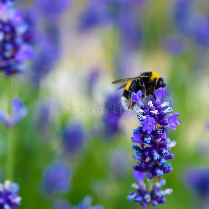 Bee collecting pollen on lavender flowers in bloom, blooming lavender with bee in summer stock images