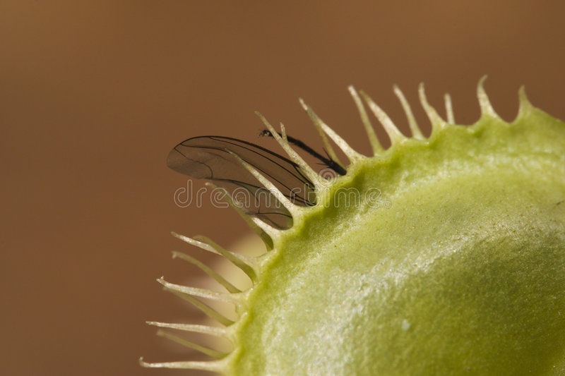 Macro shot of fly caught by venus fly trap royalty free stock image