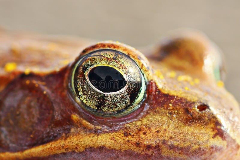 Macro shot of frog eye. Rama dalmatina, the agile frog stock image