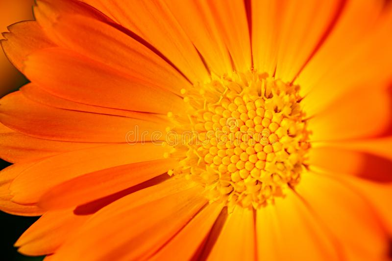 Macro shot of gerbera flower, spring background stock photos