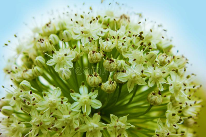 Macro Shot of Green Flower Buds stock photography