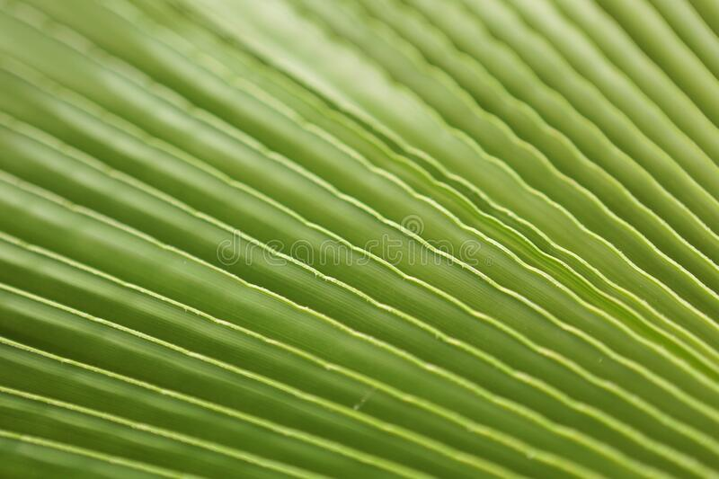 Macro shot of green palm leaf. tropical, abstract, texture, exotic. royalty free stock photo