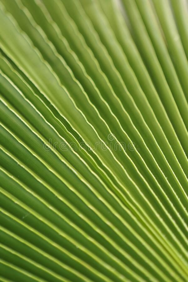 Macro shot of green palm leaf. tropical, abstract, texture, exotic. royalty free stock image