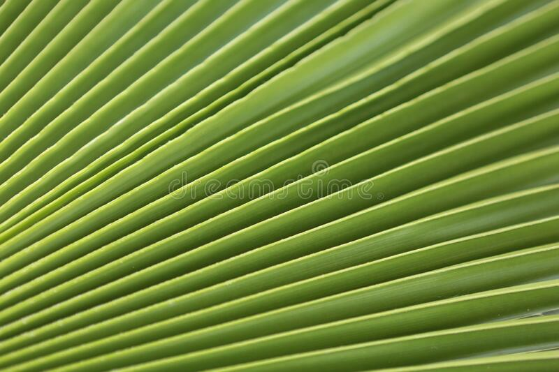 Macro shot of green palm leaf. tropical, abstract, texture, exotic. stock images