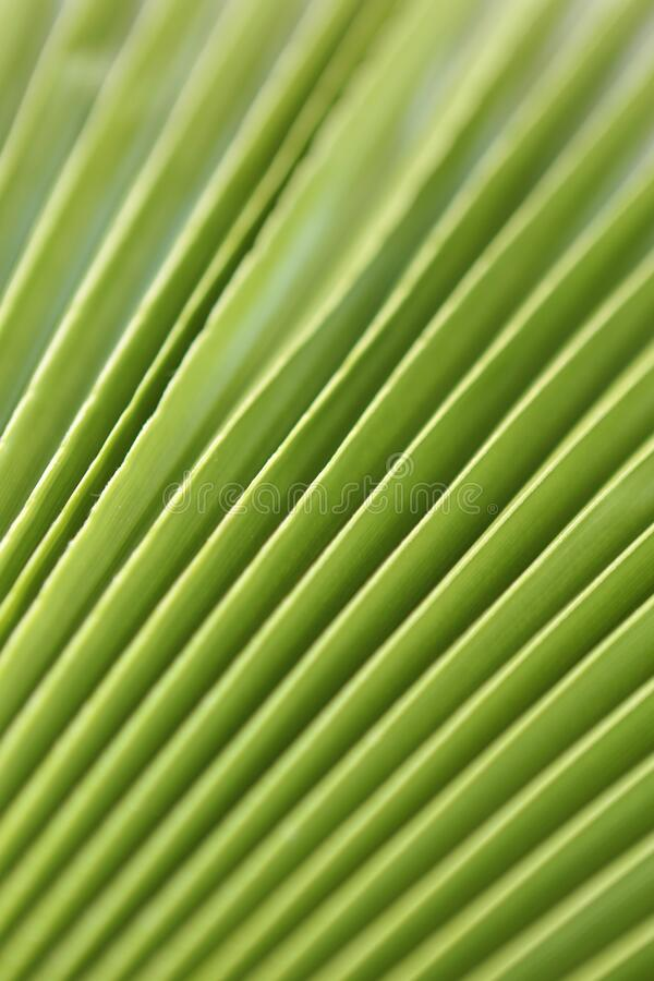Macro shot of green palm leaf. tropical, abstract, texture, exotic. stock image