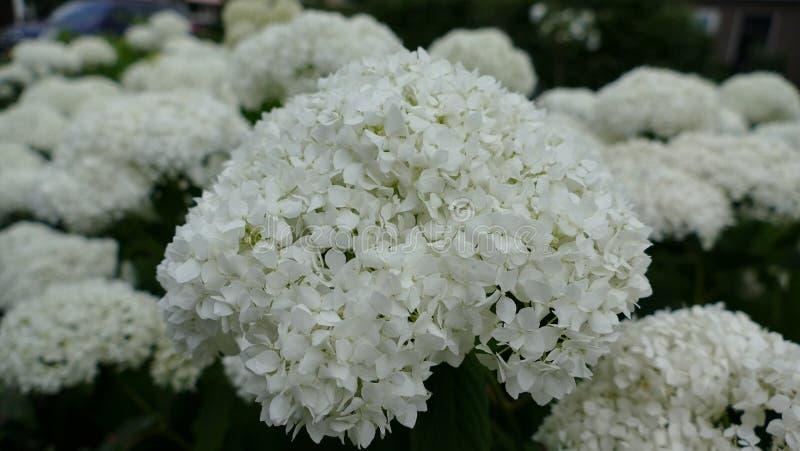 Macro shot of Hydrangea plant stock photography