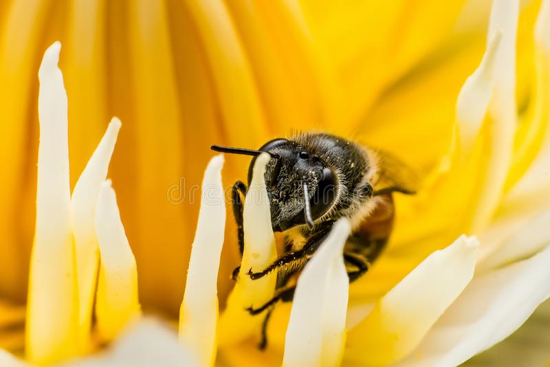 .Macro Shot, Image of bee or honeybee on the  yellow lotus pollen royalty free stock photos