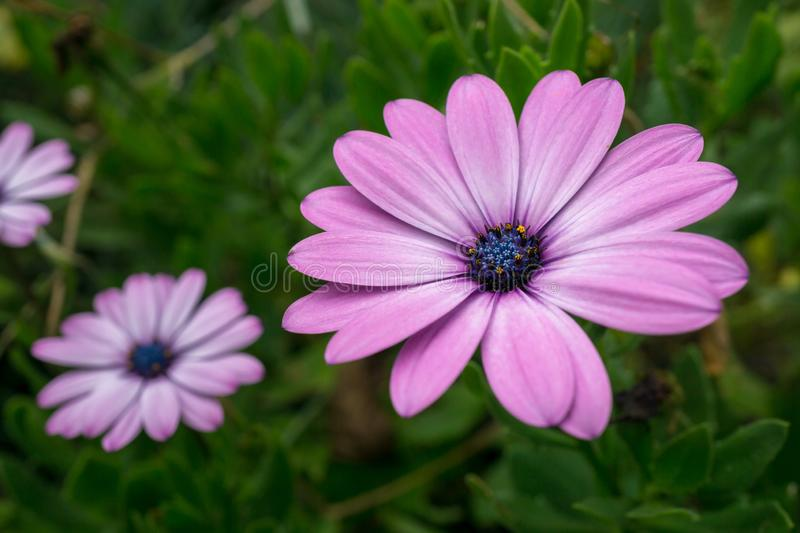 Macro shot of a isolated purple multi-petaled flower with green. Background - Osteospermum jucundum, African daisy, Dimorphotheca jucunda, Osteospermum barberae stock photography