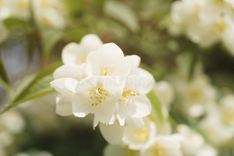 Macro shot of jasmine flowers blossoming in sunny summer day royalty free stock photography