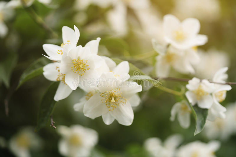 Macro shot of jasmine flowers blossoming in sunny summer day stock image