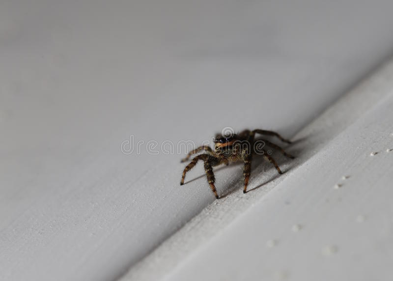 Macro shot of a jumping spider (Marpissa muscosa).  stock photography