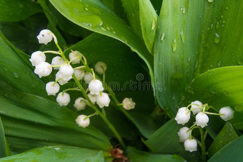 Macro shot of lilly of the valley - tender spring flowers. Selective focus on flowers royalty free stock image