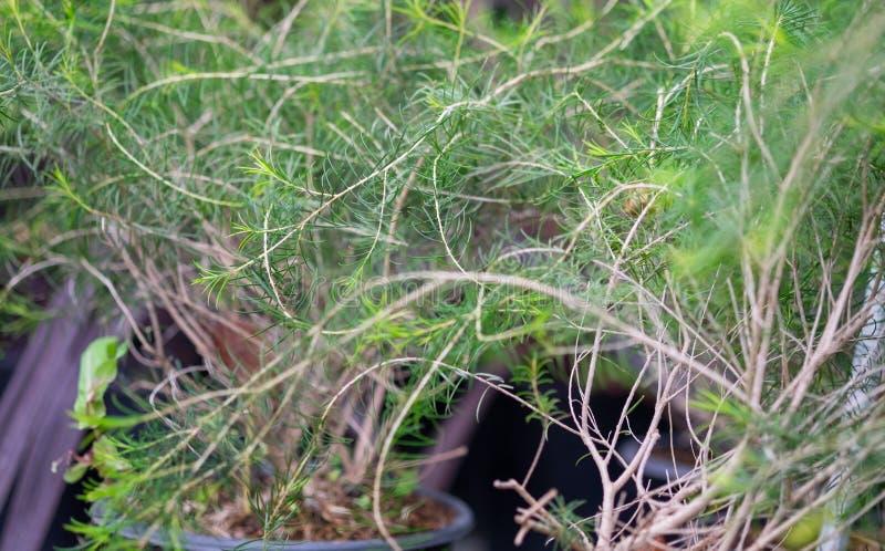 A macro shot of the Melaleuca aka paperbarks, honey-myrtles or tea-trees. Grown at greenhouse royalty free stock images