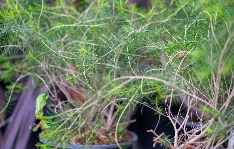 A macro shot of the Melaleuca aka paperbarks, honey-myrtles or tea-trees. Grown at greenhouse royalty free stock photos