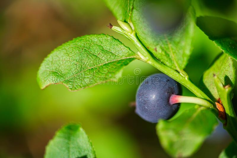 Macro shot of nice ripe blueberry in forest stock photography