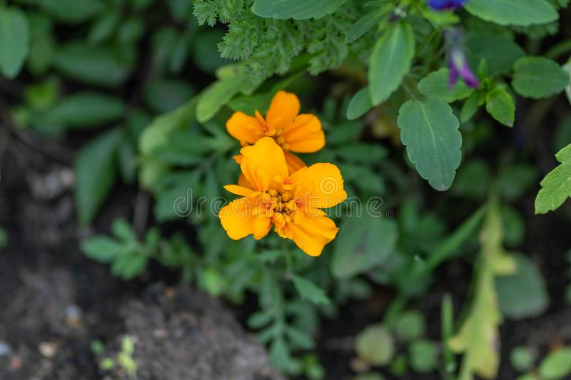 Macro shot of orange flowers in a soft focus royalty free stock image