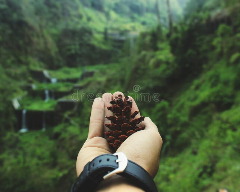 Macro Shot of Person Holding Pinecone royalty free stock photography