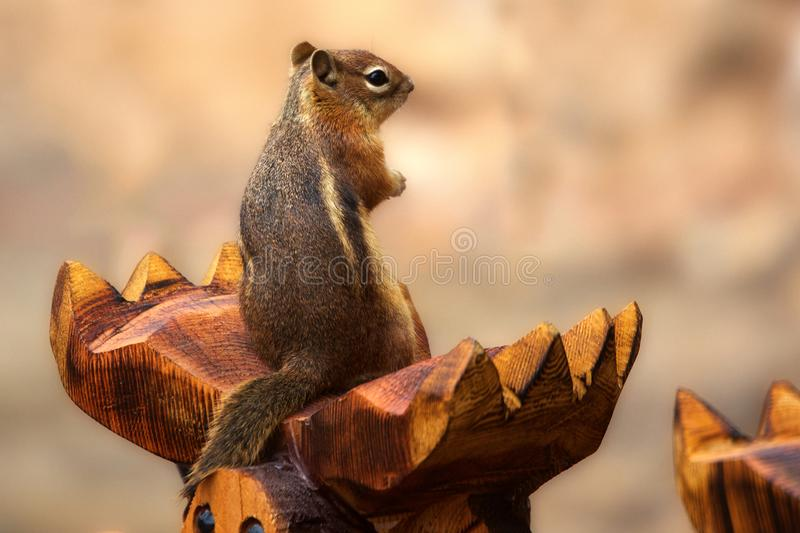 Macro Shot Photography of Gray and Brown Squirrel on Brown Wood royalty free stock images