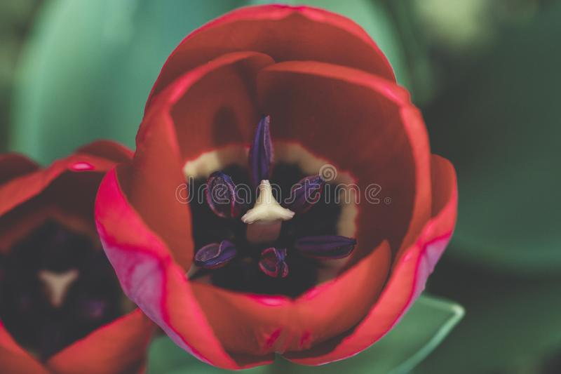 Macro Shot Photography of Red and Purple Rose stock photo