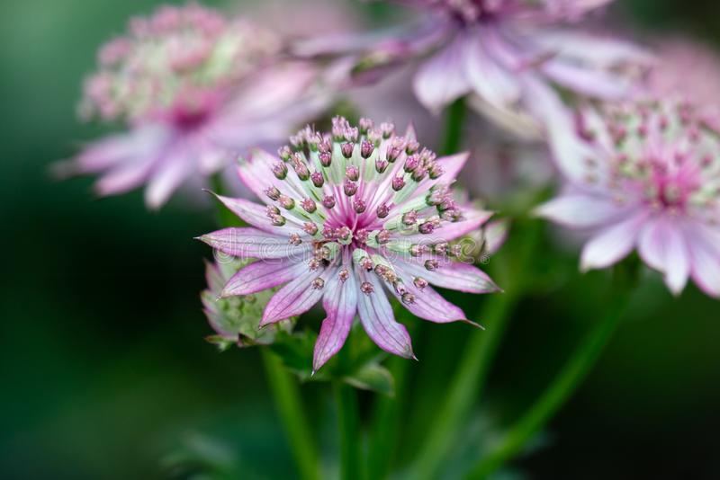 Macro of pink flowers of astrantia major showing many details like pistils and pollen royalty free stock image