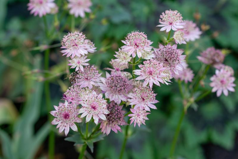 Pink flowers of astrantia major showing many details like pistils and pollen. Macro shot of pink flowers of astrantia major showing many details like pistils and royalty free stock images