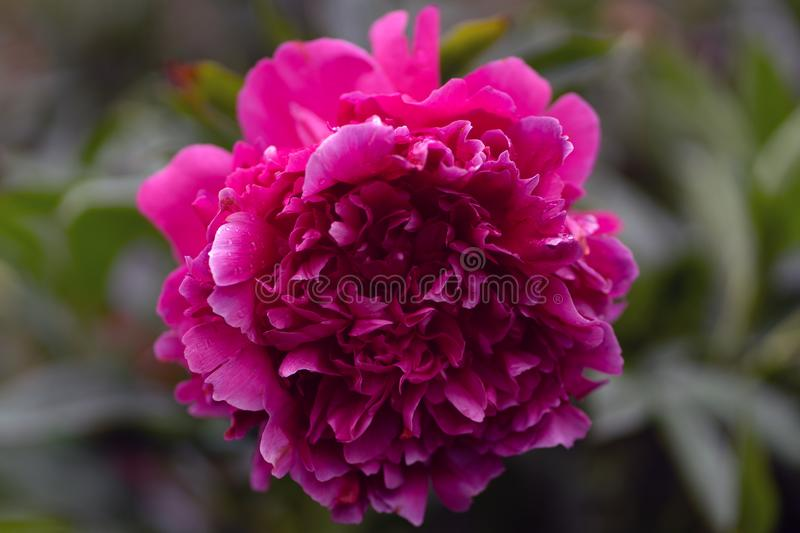 Macro shot of pink peony in soft focus royalty free stock images