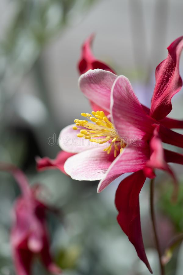 Pink columbine with yellow stamens royalty free stock image
