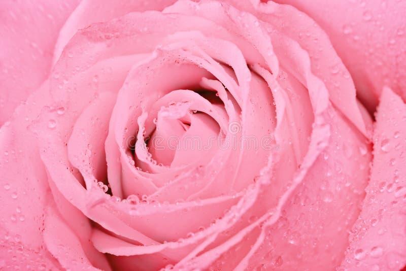 Macro shot of pink rose stock image