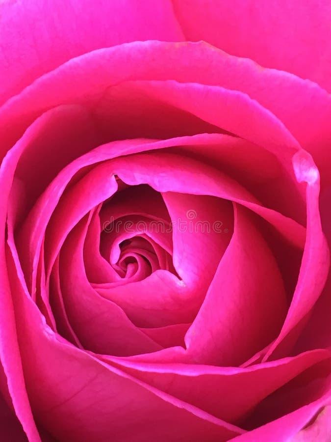 Macro shot of pink rose royalty free stock image