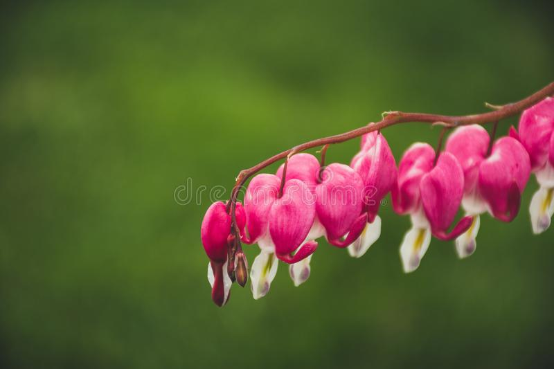 Macro Shot Of Pink And White Flowers stock photography